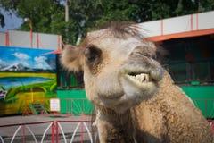 η κινηματογράφηση σε πρώτο πλάνο καμηλών το μεγάλο μηρυκαστικό δύο αστείο πορτρέτο Ο μέσα ζωολογικός κήπος Στοκ Φωτογραφία