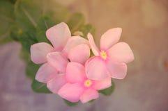 Η κινηματογράφηση σε πρώτο πλάνο που βλασταίνεται του ανοικτό ροζ λουλουδιού στον κήπο, Ντουμπάι 28ο μπορεί το 2017 Στοκ φωτογραφία με δικαίωμα ελεύθερης χρήσης