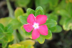Η κινηματογράφηση σε πρώτο πλάνο που βλασταίνεται του αρκετά ρόδινου λουλουδιού στον κήπο, Ντουμπάι 28ο μπορεί το 2017 Στοκ Εικόνες