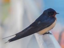Η κινηματογράφηση σε πρώτο πλάνο πουλιών της σιταποθήκης καταπίνει (rustica Hirundo) Στοκ φωτογραφία με δικαίωμα ελεύθερης χρήσης