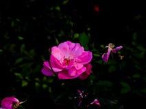 Η κινηματογράφηση σε πρώτο πλάνο ρόδινη αυξήθηκε λουλούδι στοκ εικόνες