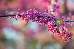 Η κινηματογράφηση σε πρώτο πλάνο της συστάδας του ροζ δέντρων redbud ανθίζει θερμό αναμμένο κάτω Στοκ εικόνα με δικαίωμα ελεύθερης χρήσης