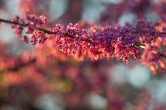 Η κινηματογράφηση σε πρώτο πλάνο της συστάδας του ροζ δέντρων redbud ανθίζει θερμό αναμμένο κάτω Στοκ Φωτογραφία