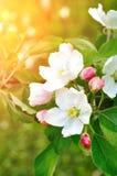 Η κινηματογράφηση σε πρώτο πλάνο του ανθίζοντας μήλου άνοιξη ανθίζει κάτω από το μαλακό φως του ήλιου - φυσικό floral υπόβαθρο άν Στοκ Φωτογραφία
