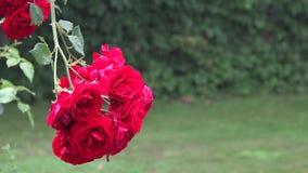 Η κινηματογράφηση σε πρώτο πλάνο του κόκκινου ροδαλού λουλουδιού ανθίζει το φθινόπωρο νερού δυνατής βροχής στο θερινό κήπο 4K απόθεμα βίντεο