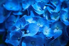 Η κινηματογράφηση σε πρώτο πλάνο του μπλε macrophylla Hydrangea hydrangea είναι ανθίζοντας την άνοιξη και καλοκαίρι σε έναν πόλης Στοκ Εικόνα