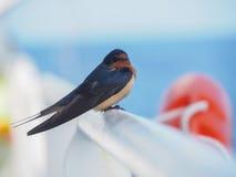 Η κινηματογράφηση σε πρώτο πλάνο του πουλιού, σιταποθήκη καταπίνει (rustica Hirundo) Στοκ φωτογραφία με δικαίωμα ελεύθερης χρήσης
