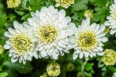 Η κινηματογράφηση σε πρώτο πλάνο των άσπρων λουλουδιών με πράσινο βγάζει φύλλα Στοκ φωτογραφία με δικαίωμα ελεύθερης χρήσης