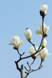 Λουλούδι της Yulan Στοκ φωτογραφία με δικαίωμα ελεύθερης χρήσης