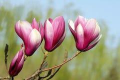 Λουλούδι της Yulan Στοκ Φωτογραφίες