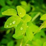 η κινηματογράφηση σε πρώτο πλάνο των πράσινων φύλλων αυξήθηκε με τις σταγόνες βροχής στη φύση, μακροεντολή Στοκ Φωτογραφίες