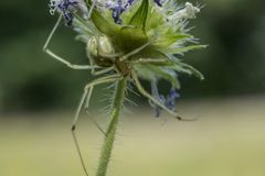 Η κιτρινοπράσινη αράχνη κάθεται κάτω από το λουλούδι στοκ εικόνες
