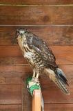 Η κοινή καρακάξα - στο λατινικό buteo Buteo Πορτρέτο του κοινού πουλιού καρακαξών στην αιχμαλωσία Στοκ εικόνες με δικαίωμα ελεύθερης χρήσης