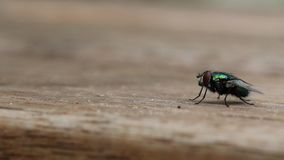 Η κοινή μύγα σπιτιών απογειώνεται απόθεμα βίντεο
