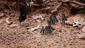 Η κοινή πεταλούδα του Jay στο έδαφος απόθεμα βίντεο