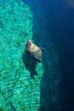 Η κοινή σφραγίδα κολυμπά στο νερό Στοκ Εικόνες