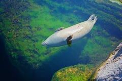 Η κοινή σφραγίδα κολυμπά στο νερό Στοκ Εικόνα