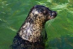 Η κοινή σφραγίδα κολυμπά Στοκ Εικόνες