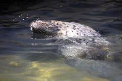 Η κοινή σφραγίδα, vitulina Phoca, κολυμπά συχνά την κοιλιά επάνω Στοκ Φωτογραφίες