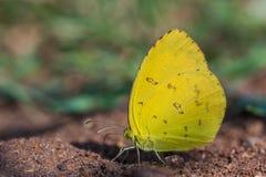 Η κοινή χλόη κίτρινη, πεταλούδα επιδιώκει το μετάλλευμα στο χώμα Στοκ φωτογραφία με δικαίωμα ελεύθερης χρήσης