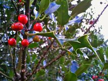 Η κοινή Holly/Ilex Aquifolium Στοκ Φωτογραφία