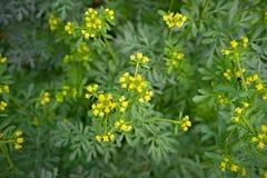 Η κοινή rue με τα λουλούδια, Ruta graveolens, στον κήπο, επέλεξε την εστίαση στοκ εικόνες