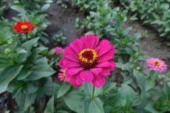 Η κοινή Zinnia τη ροδανιλίνη που χρωματίζεται με flowerhead στοκ φωτογραφία
