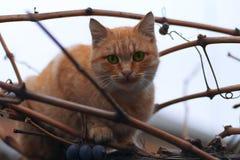 Η κοκκινομάλλης γάτα κάθεται σε έναν κλάδο των σταφυλιών στοκ εικόνες