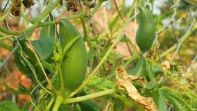 Η κολοκύθα παντοφλών pedata Cyclanthera ή το γέμισμα του αγγουριού τις συγκομιδές και τα φύλλα είναι ένα λαχανικό που αυξάνεται γ απόθεμα βίντεο