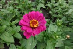 Η κομψή Zinnia τη ροδανιλίνη που χρωματίζεται με flowerhead στοκ φωτογραφίες