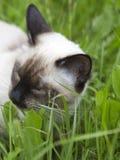 Η κοντή μαλλιαρή νέα γάτα, χρώμα σημείου σφραγίδων μασά μια πράσινη χλόη στοκ φωτογραφίες