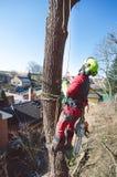 Η κοπή ατόμων δενδροκόμων κλάδοι με το αλυσιδοπρίονο και ρίχνει σε ένα έδαφος Ο εργαζόμενος με το κράνος που λειτουργεί στο ύψος  Στοκ Εικόνες
