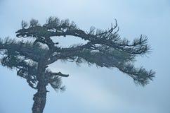 Η κορυφή ενός δέντρου πεύκων στην πυκνή ομίχλη Στοκ Εικόνες