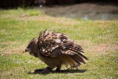 Η κουκουβάγια κάθεται στο έδαφος, και κυνηγά στοκ εικόνες με δικαίωμα ελεύθερης χρήσης