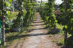 η κολοκύθα, κολοκύθα Calabash, άνθισε την κολοκύθα, τα φρούτα και τα δέντρα στο GA Στοκ Φωτογραφίες