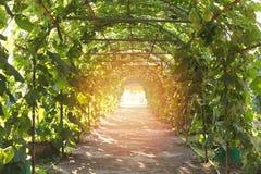 η κολοκύθα, κολοκύθα Calabash, άνθισε την κολοκύθα, τα φρούτα και τα δέντρα στο GA Στοκ εικόνα με δικαίωμα ελεύθερης χρήσης