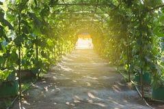η κολοκύθα, κολοκύθα Calabash, άνθισε την κολοκύθα, τα φρούτα και τα δέντρα στο GA Στοκ εικόνες με δικαίωμα ελεύθερης χρήσης