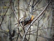 Η κρυμμένη Robin στοκ εικόνες