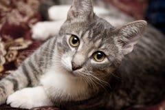 η κυρία γατών κοιτάζει Στοκ Εικόνες