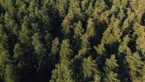 Η κωνοφόρη δασική αεροφωτογραφία τοπ άποψης ένα πυκνό δάσος πεύκων των πεύκων και των έλατων στο ηλιοβασίλεμα, κλείνει επάνω Κηφή απόθεμα βίντεο