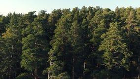 Η κωνοφόρη δασική αεροφωτογραφία τοπ άποψης ένα πυκνό δάσος πεύκων των πεύκων και των έλατων στο ηλιοβασίλεμα, κλείνει επάνω Κωνο φιλμ μικρού μήκους