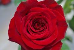 Η κόκκινη άνθιση αυξήθηκε Στοκ Φωτογραφία
