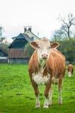 Η κόκκινη αγελάδα κοιτάζει μέσα στη κάμερα στο υπόβαθρο αγροτικού haus στοκ φωτογραφία