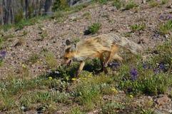 Η κόκκινη αλεπού βουνών που ζει στις υψηλές ανυψώσεις με κίτρινο και την κρέμα χρωμάτισε τη γούνα Στοκ φωτογραφία με δικαίωμα ελεύθερης χρήσης