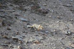 Η κόκκινη αλεπού πηγαίνει κάτω σε μια πετρώδη βουνοπλαγιά Στοκ Εικόνες