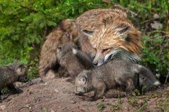 Η κόκκινη αλεπού Vixen (Vulpes vulpes) και οι εξαρτήσεις επιθεωρούν Densite Στοκ Εικόνες