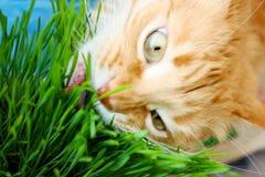 Η κόκκινη γάτα τρώει τη φρέσκια πράσινη χλόη Στοκ Εικόνα
