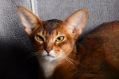 Η κόκκινη γάτα Abyssinian βρίσκεται στοκ φωτογραφία με δικαίωμα ελεύθερης χρήσης