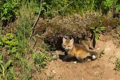 Η κόκκινη εξάρτηση αλεπούδων (Vulpes vulpes) σκάβει στο κρησφύγετο στοκ φωτογραφία