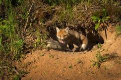 Η κόκκινη εξάρτηση Vulpes αλεπούδων vulpes σέρνεται από το κρησφύγετο Στοκ φωτογραφία με δικαίωμα ελεύθερης χρήσης